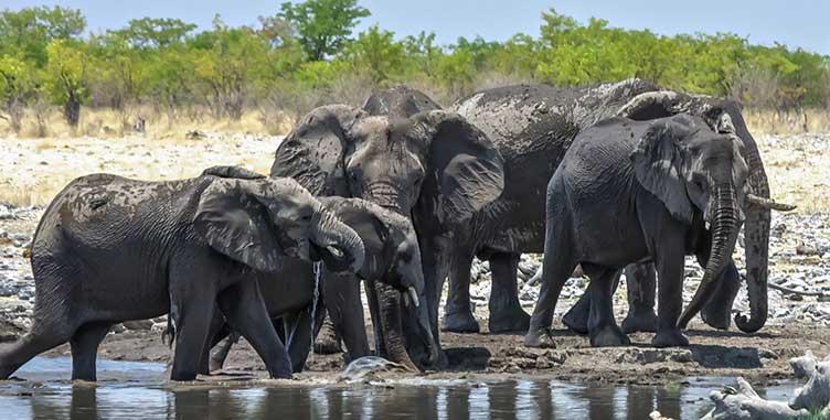 Eléphants à Etosha en Namibie
