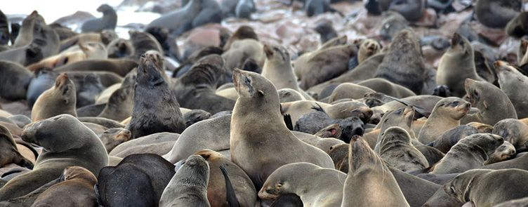 Otaries de Cape Cross en Namibie