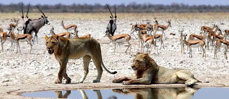 Lions à Etsoha en Namibie