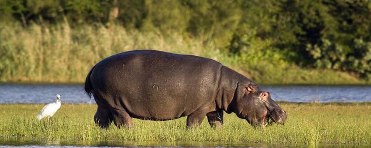Hippopotame à Hluhluwe en Adique du Sud