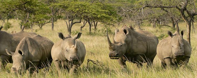 Rhinocèros à Mkuzi en Afrique du Sud