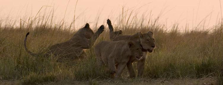 Lions à Chobe au Botswana