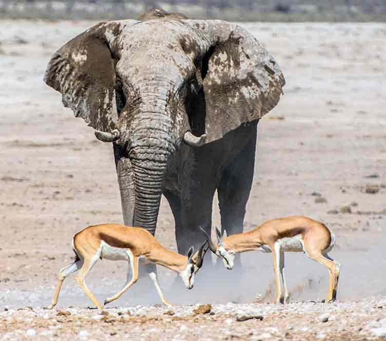 Elephant et springboks à Etosha