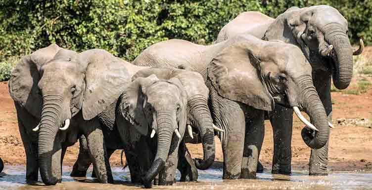 Elephants à Moremi au Botswana