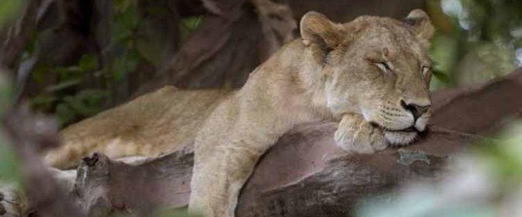 Lion Manyara safari Tanzanie