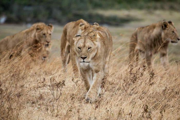 Safari en Tanzanie Danse avec les Lions