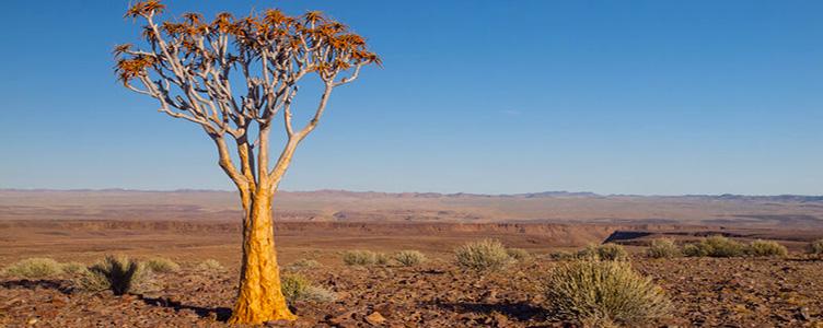 Arbre carquois en Namibie dans la région de Fish River Canyon