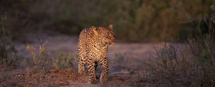 Léopard dans le Parc Kruger