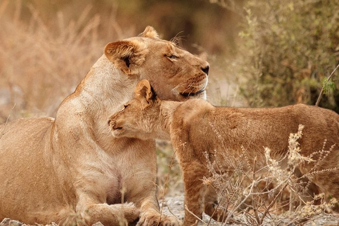 """Safari en Tanzanie : """"Danse avec les Lions"""""""
