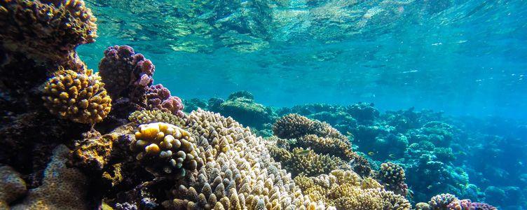 Snorkelling et coraux en Mer Rouge, Jordanie