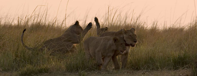 Safari Botswana lions à Chobe Samsara voyages