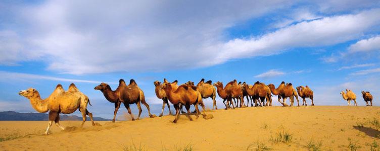 Chameaux dans le désert de Gobi en Mongolie