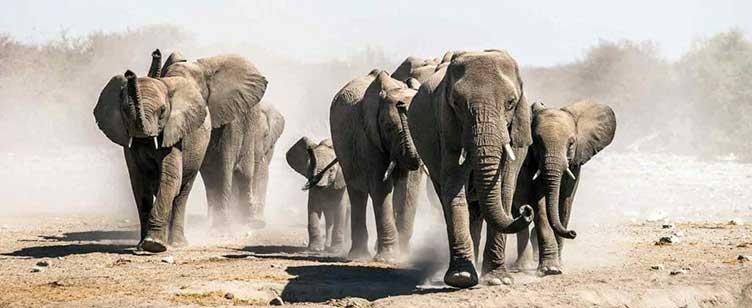 Eléphants à Savuti