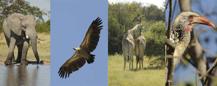 faune de l'okavango