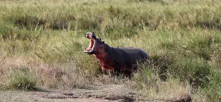 Hippopotame en Namibie