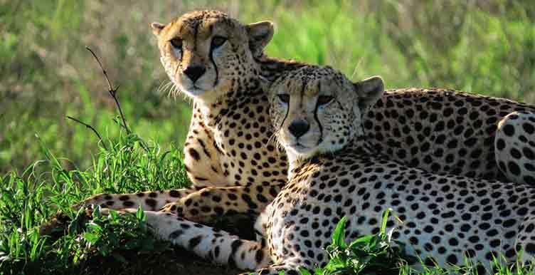 Guepards à Moremi au Botswana