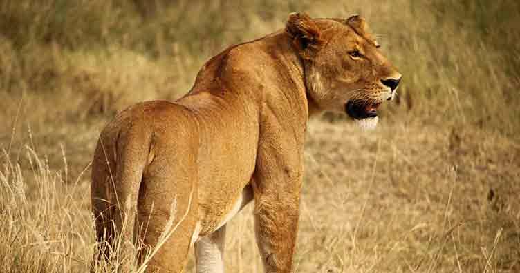 Lion à Kruger