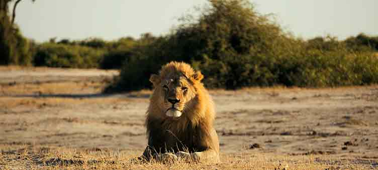 Lion à Chobe au Botswana