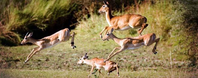 Safari Zambie gazelles Samsara voyages