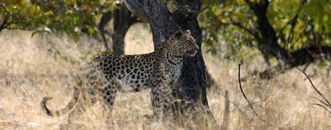 Léopard en safari en Zambie, Sud Luangwa
