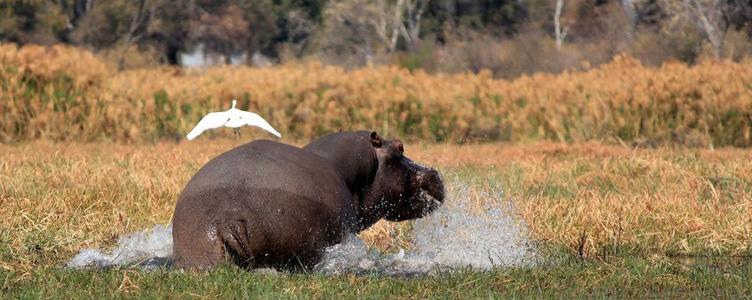 Hippopotame à Mahango en Namibie