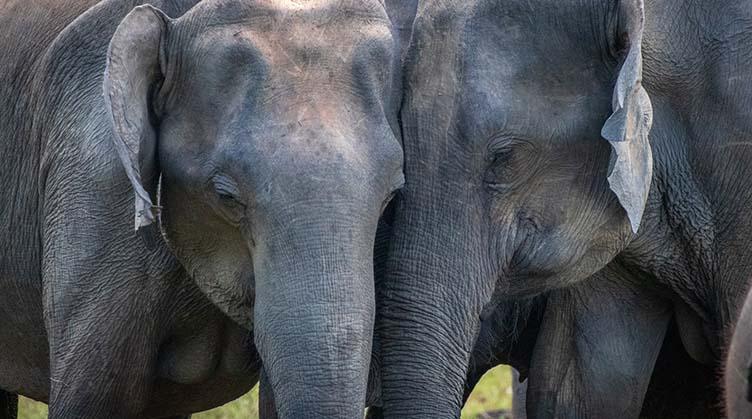 Eléphants à Udawalawa