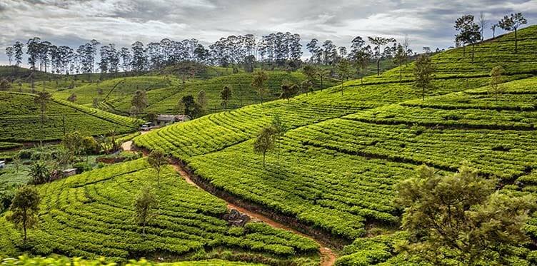 Plantation de thé à Nurawa Eliya