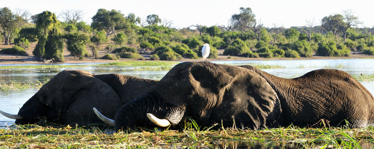 Voyage safari Botswana Elephants Chobe