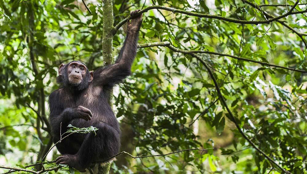 Chimpanzés de Kibale, voyage en Ouganda