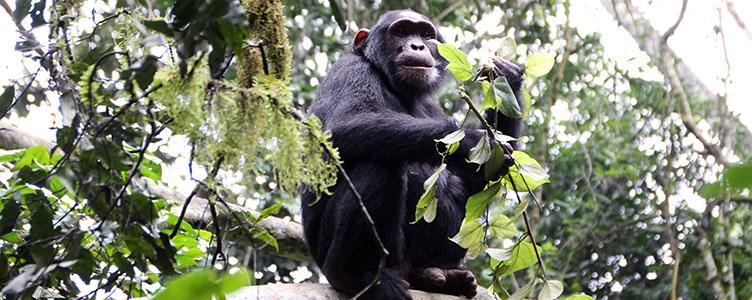 Chimpanzes de Kibale en Ouganda