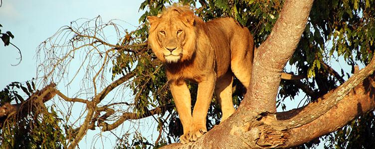 Lion à Ishasha Parc de Queen Elisabeth en Ouganda