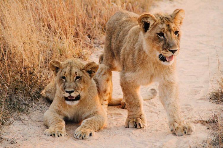 Lions lors d'un safari au Zimbabwe avec Samsara Voyages
