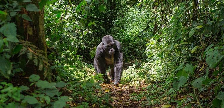 Trekking gorilles en Ouganda
