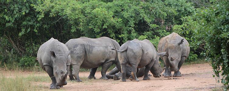 Rhinocéros à Ziwa lors d'un voyage en Ouganda