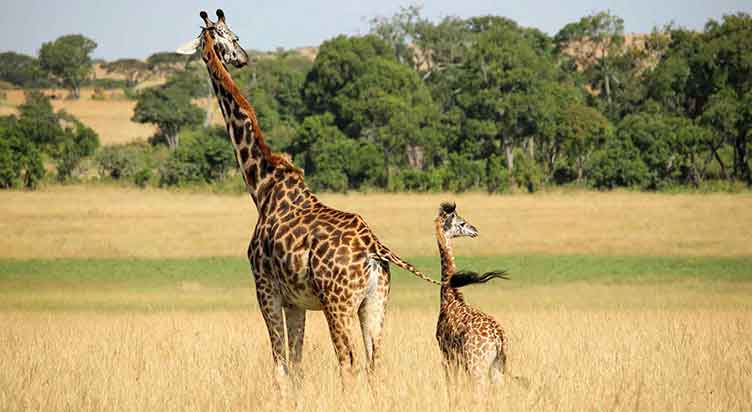 Girafes à Hwange au Zimbabwe