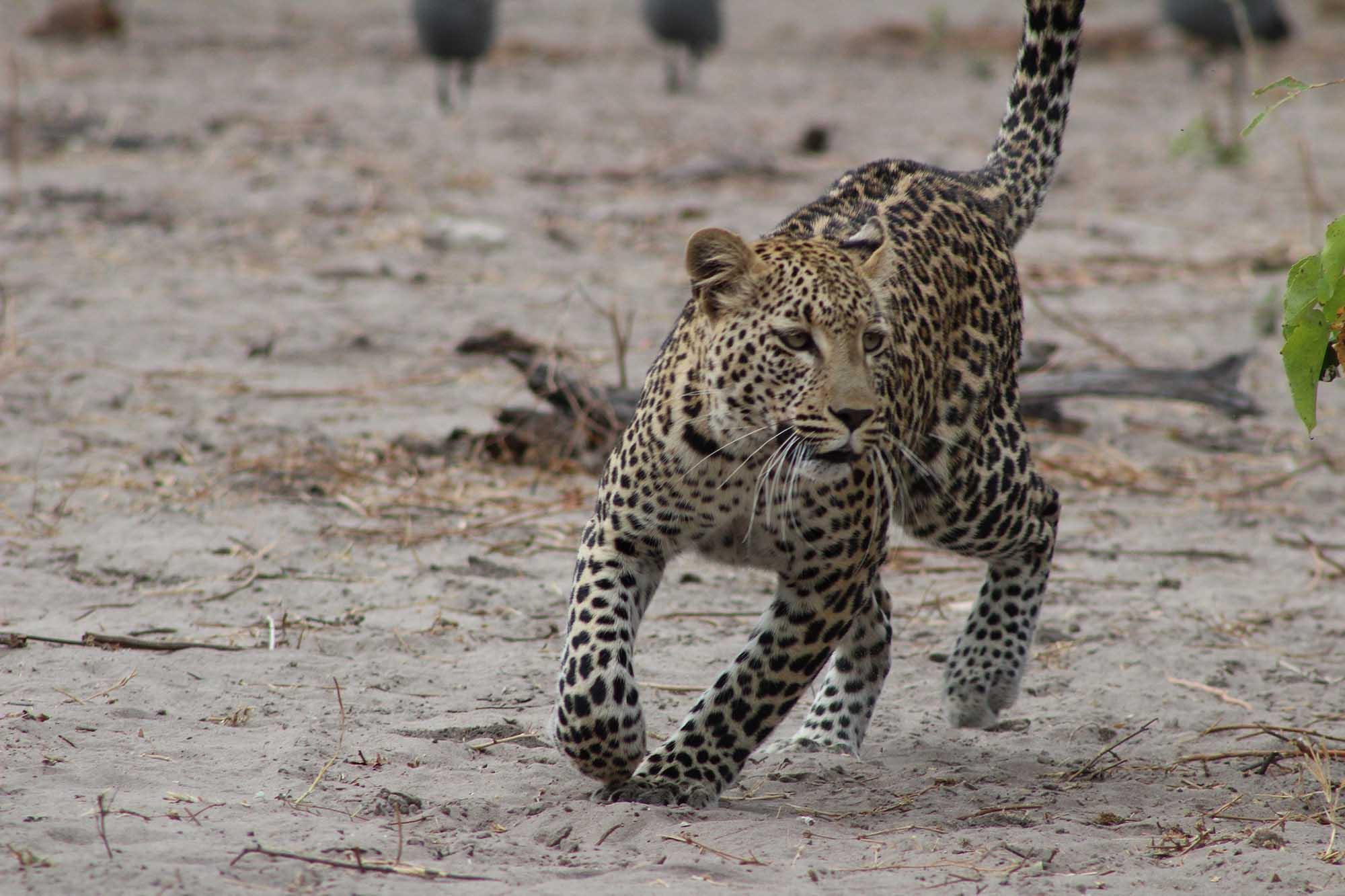Leopard lors d'un safari en zambie avec Samsara