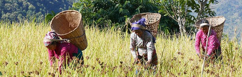 Dans les champs au Népal avec Samsara Voyages