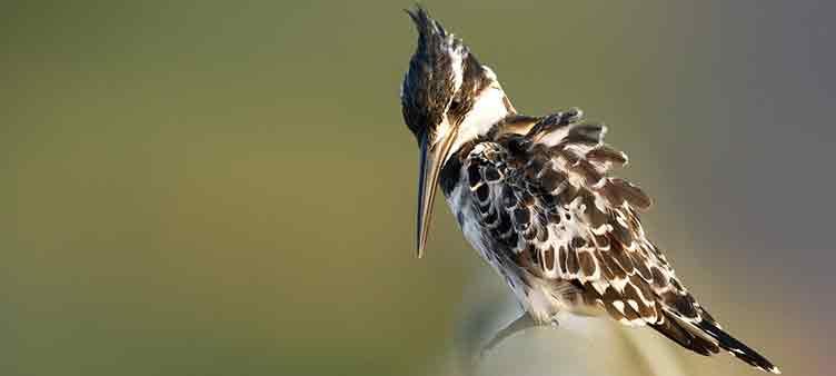Kingfisher en Afrique du Sud