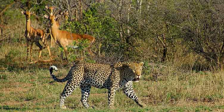 Léopard à Satara au Parc Kruger