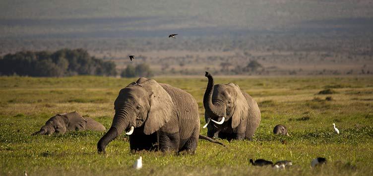 Elephants en safari au Kenya