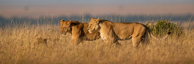 Lions à Amboseli au Kenya