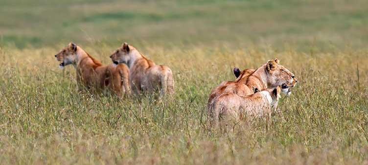 Lions dans le Masai Mara