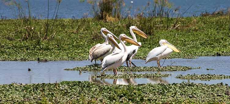 grands pelicans blancs à Naivasha en safari au Kenya