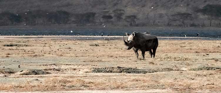 Rhinocéros au lac Nakuru